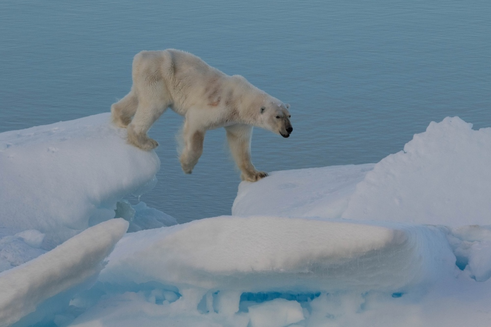 polar bear up close 4.jpg