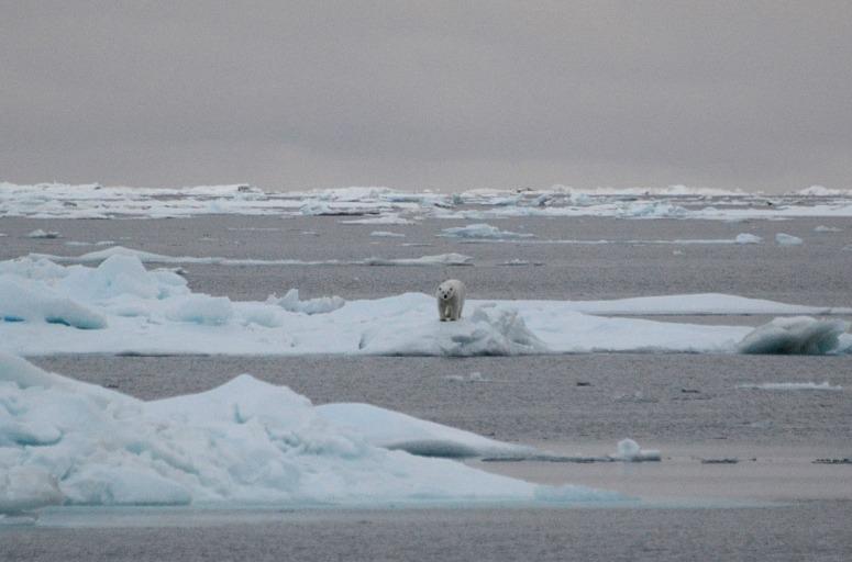 single polar bear 2.jpg