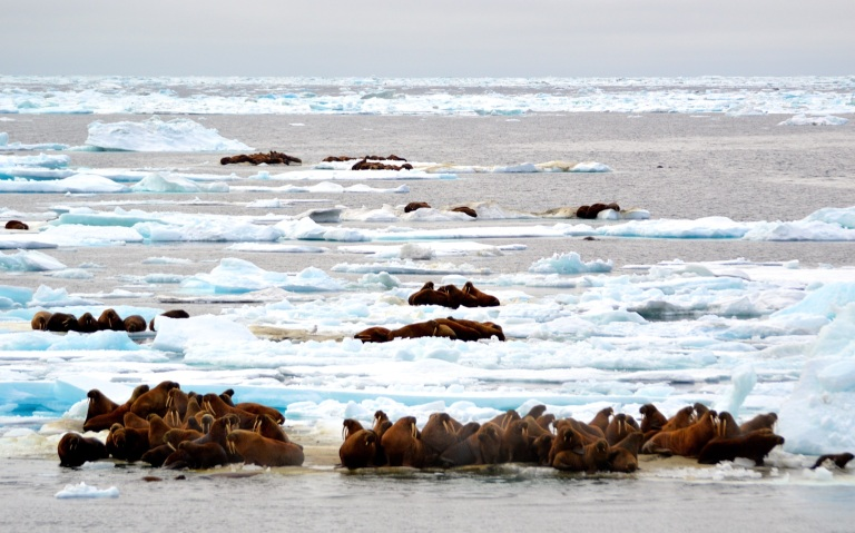 walruses 1.jpg